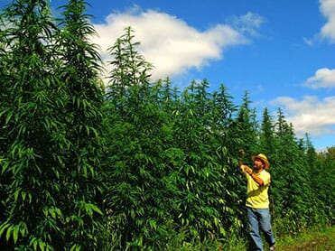 Image of Tall Hemp Plants and a person
